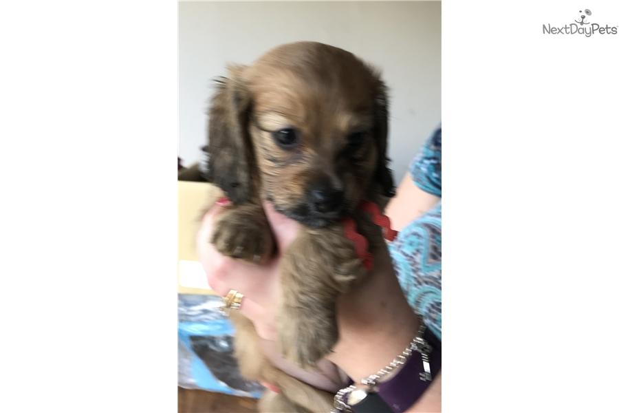 Red Female Dachshund Puppy For Sale Near Houston Texas 50b078ed 4511