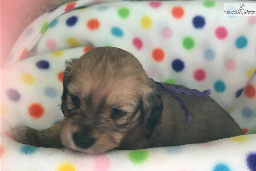 Blue Male Dachshund Puppy For Sale Near Houston Texas 98902cda 7461