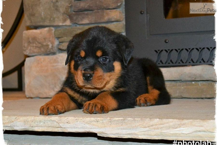 Blue Bone Collar Rottweiler Puppy For Sale Near Hickory Lenoir