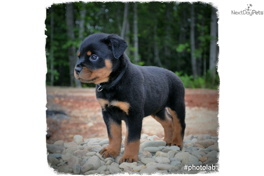 Black Collar Rottweiler Puppy For Sale Near Hickory Lenoir North