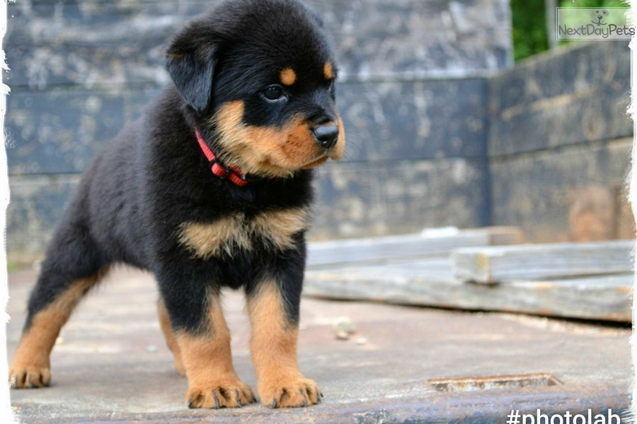 Red Collar Rottweiler Puppy For Sale Near Hickory Lenoir North