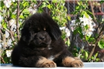 Tibetan Mastiff puppy | Puppy at 45 weeks of age for sale