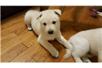 Picture of Jindo in St. Louis