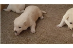 Picture of Jindo