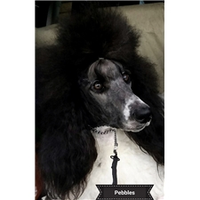 View full profile for Wenray's Standard Poodles