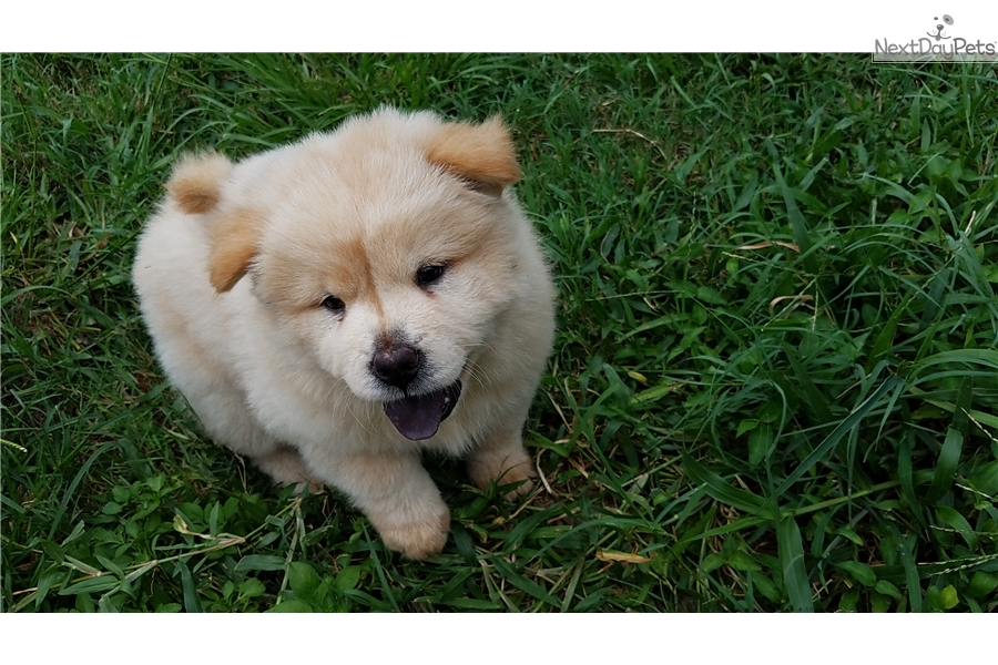 The Man Chow Chow Puppy For Sale Near Tampa Bay Area Florida