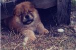 Picture of AKC Chow Chow Red female born 12/24/2017 .