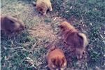 Picture of AKC Chow Chow Red female born 12/24/2017