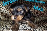 Picture of Champion bloodline male Yorkie
