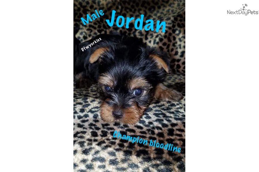 Diesel : Yorkshire Terrier - Yorkie puppy for sale near
