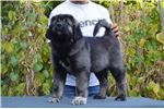 Picture of Caucasian mountain dog puppy female Tay