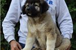 Picture of Caucasian mountain dog puppy female