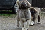 Picture of Caucasian mountain dog puppy male Ivan