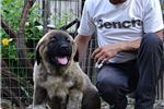 Picture of Caucasian mountain dog puppy male Sirius