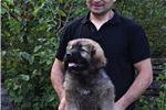 Picture of Caucasian mountain dog puppy female Calinka