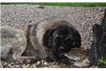 Picture of Caucasian mountain dog puppy male Sam