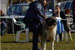 Picture of Caucasian mountain dog puppy female Tiara