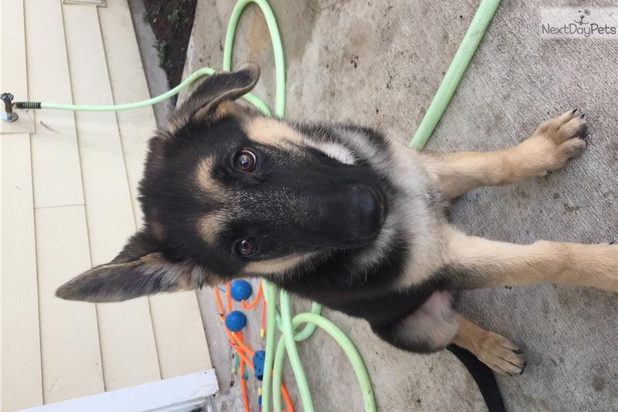 Karma German Shepherd Puppy For Sale Near San Antonio Texas