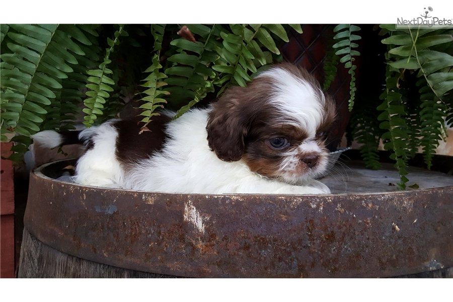 Cole Shih Tzu Puppy For Sale Near Evansville Indiana 8a8259db Dfe1