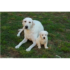View full profile for Family Of Labradors