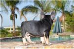 Picture of Akc black and tan male