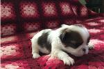 Japanese Chin for sale