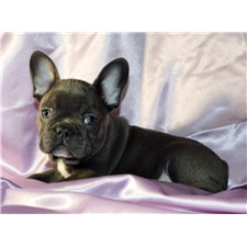 View full profile for French Bulldogs