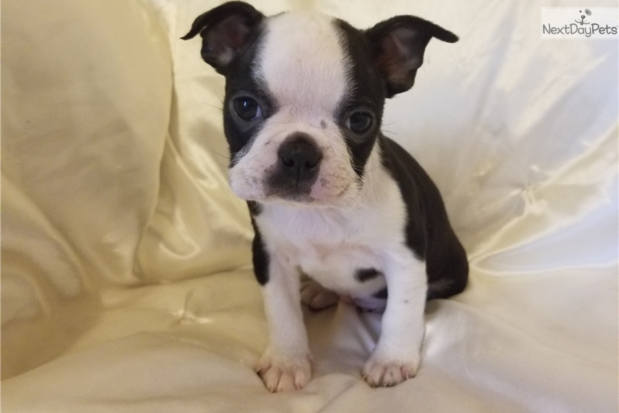 Rascal Boston Terrier Puppy For Sale Near Charlotte North