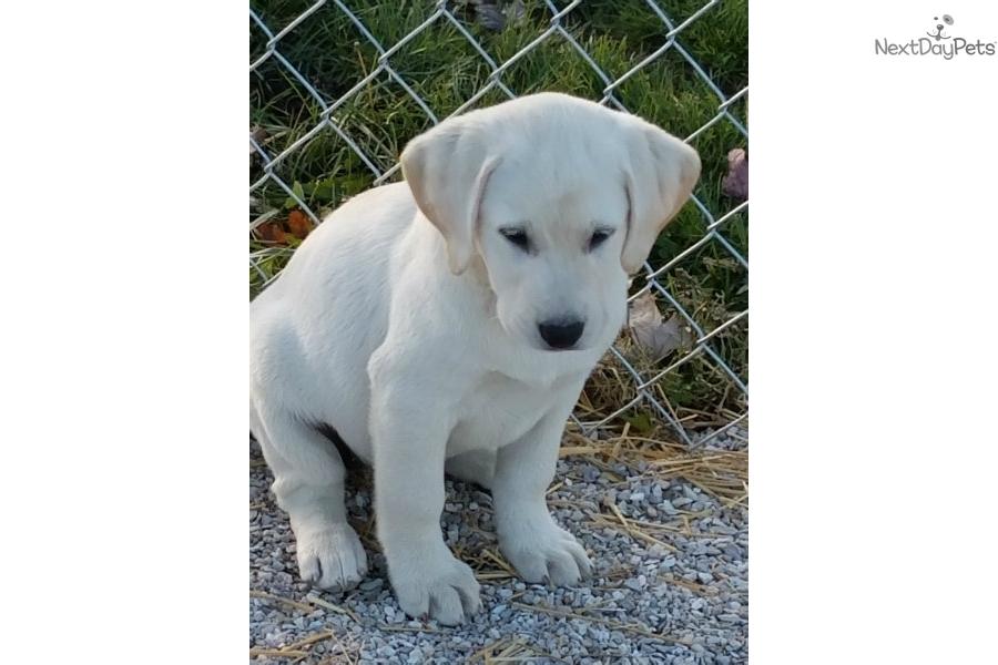 Chloe Labrador Retriever Puppy For Sale Near Kirksville Missouri