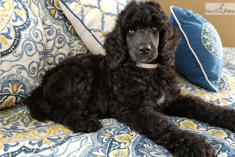 Max Poodle Standard Puppy For Sale Near Dallas Fort