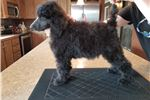 Picture of AKC Black Male Standard Poodle