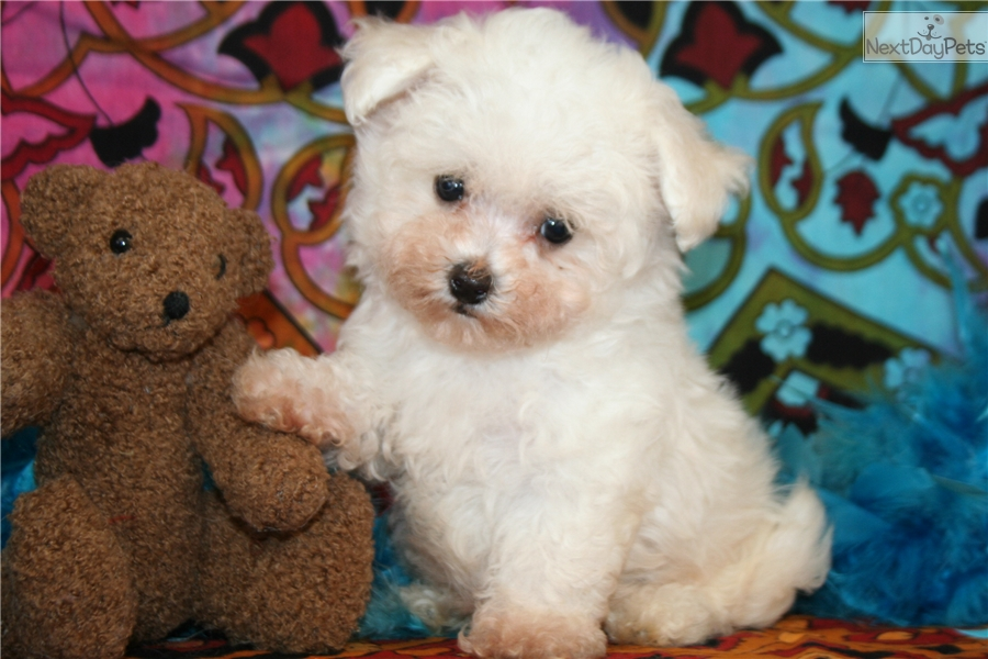 Bichon Frise puppy for sale near Tulsa, Oklahoma | f1d61a59-df61