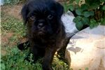 olivia female pugapoo | Puppy at 10 weeks of age for sale
