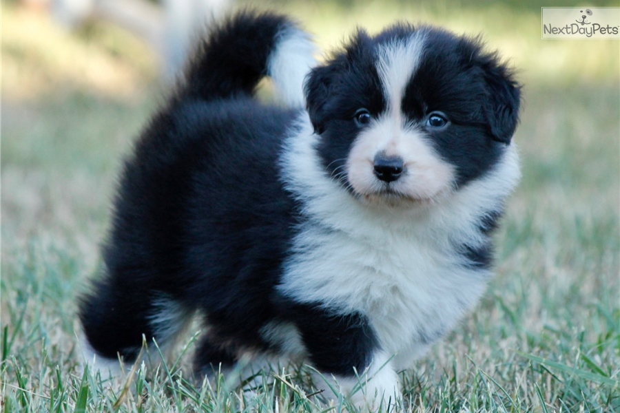 Be My Girl Border Collie Puppy For Sale Near Budapest Hungary