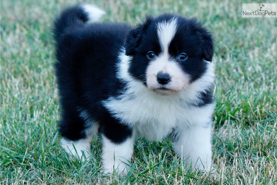 Bed Boy Border Collie Puppy For Sale Near Budapest Hungary