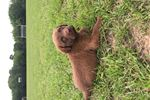 Chesapeake Bay Retrievers for sale