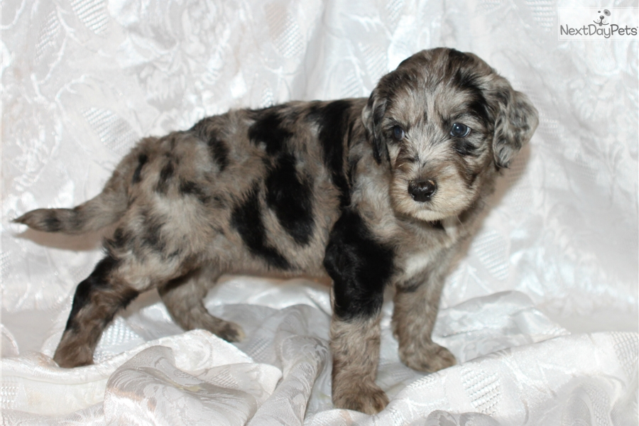 Bella Aussiedoodle Puppy For Sale Near Fort Smith