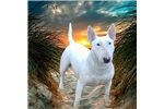 Featured Breeder of Bull Terriers with Puppies For Sale