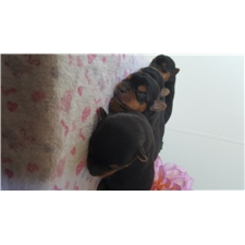 View full profile for Playful Yorkies