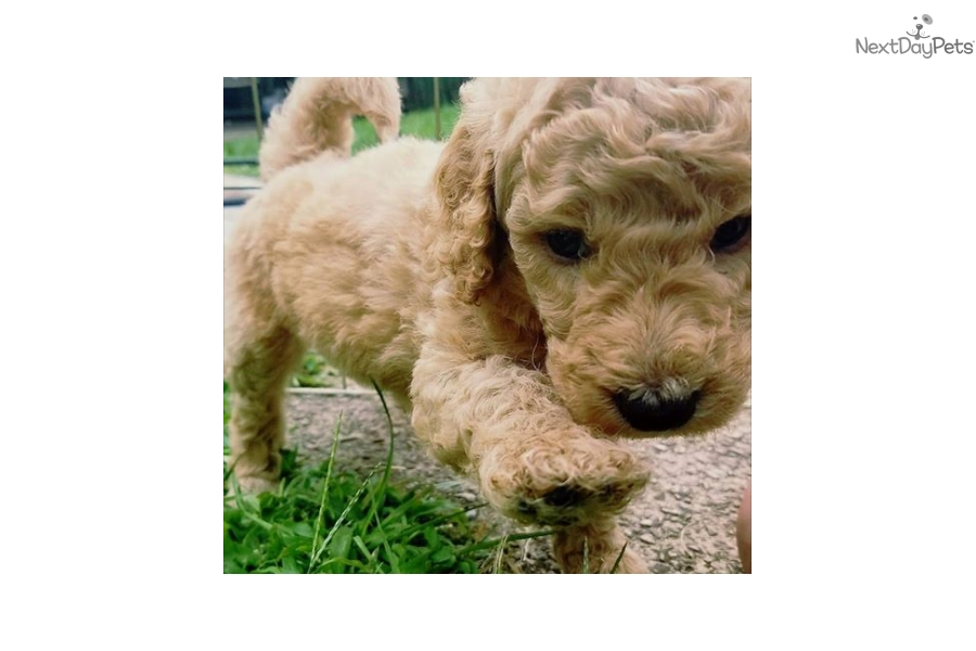 Female 1 Poodle Standard Puppy For Sale Near Philadelphia