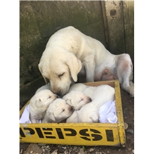 View full profile for Kings Creek White Labradors