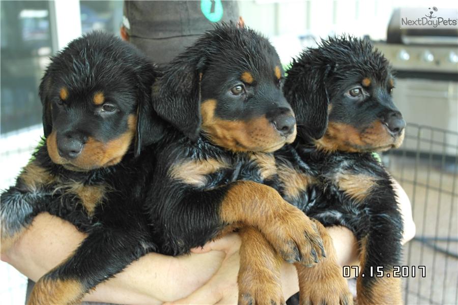 Female Pup 1 Rottweiler Puppy For Sale Near Waco Texas Efa58864 F471