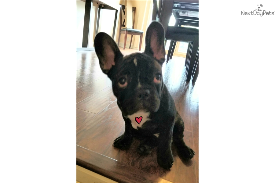 french bulldog puppies omaha flower french bulldog puppy for sale near omaha council 6959