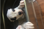 NKC American Bulldog Pup | Puppy at 19 weeks of age for sale