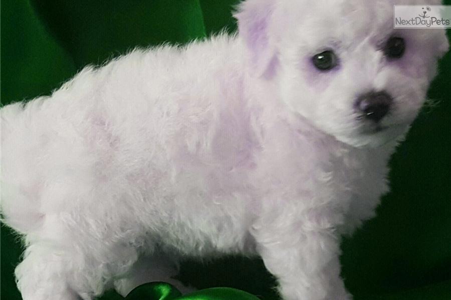 Cuddles: Bichon Frise puppy for sale near Gulfport / Biloxi