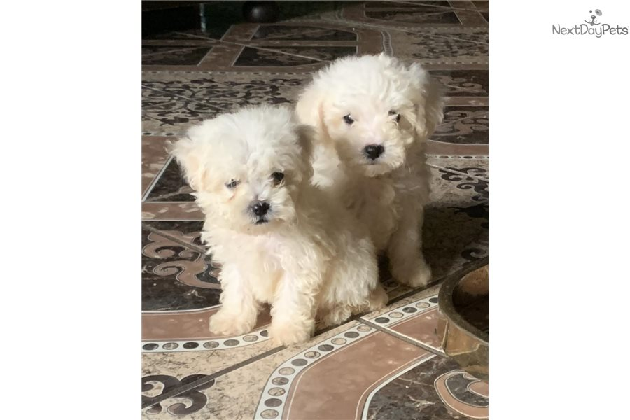 Bichon Frise puppy for sale near Dayton / Springfield, Ohio