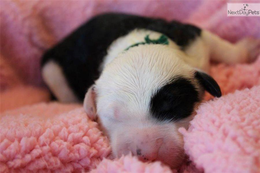 Sheepadoodle Puppy For Sale Near Richmond Virginia 4764dd57 5671