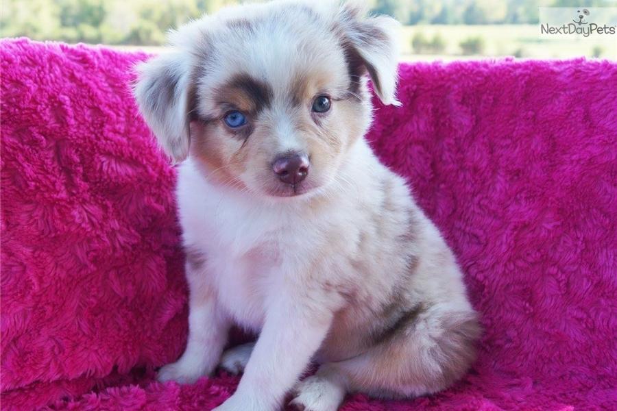 Gracie : Miniature Australian Shepherd puppy for sale near