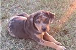 Picture of Merle male Catahoula