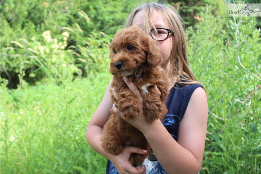 Cinnamon Poodle Miniature Puppy For Sale Near Los Angeles